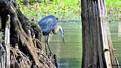 Great Blue Heron Looking For Breakfast (Suzanham) Tags: greatblueheron bird aquaticbird swamp swampy cypressswamp wadingbird fishing nature cypress summer cypressroots plumage mississippi southern wildlife noxubeewildliferefuge canonpowershotsx60hs