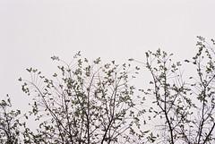 1041627-R1-009-3 (Praxis Transmutation) Tags: film konica big mini konicabigmini zoom 311z konicabigminizoom sky overcast tree fuji pro 400 h fujipro400h pointandshoot analog sp3000 frontier ccd scanner goodman lab goodmanfilmlab sandiego california street streetphotography parking lookup