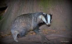 Badger - Buckinghamshire (Alan Woodgate) Tags: