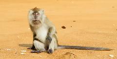 Macaque (Theo Crazzolara) Tags: macaque macaca monkey primat makake cercopithecidae meerkatze pulau tioman javaneraffe crabeating longtailed pahang malaysia asia malaysien asien animal mammal tier nature natur beach strand sand sitting affe