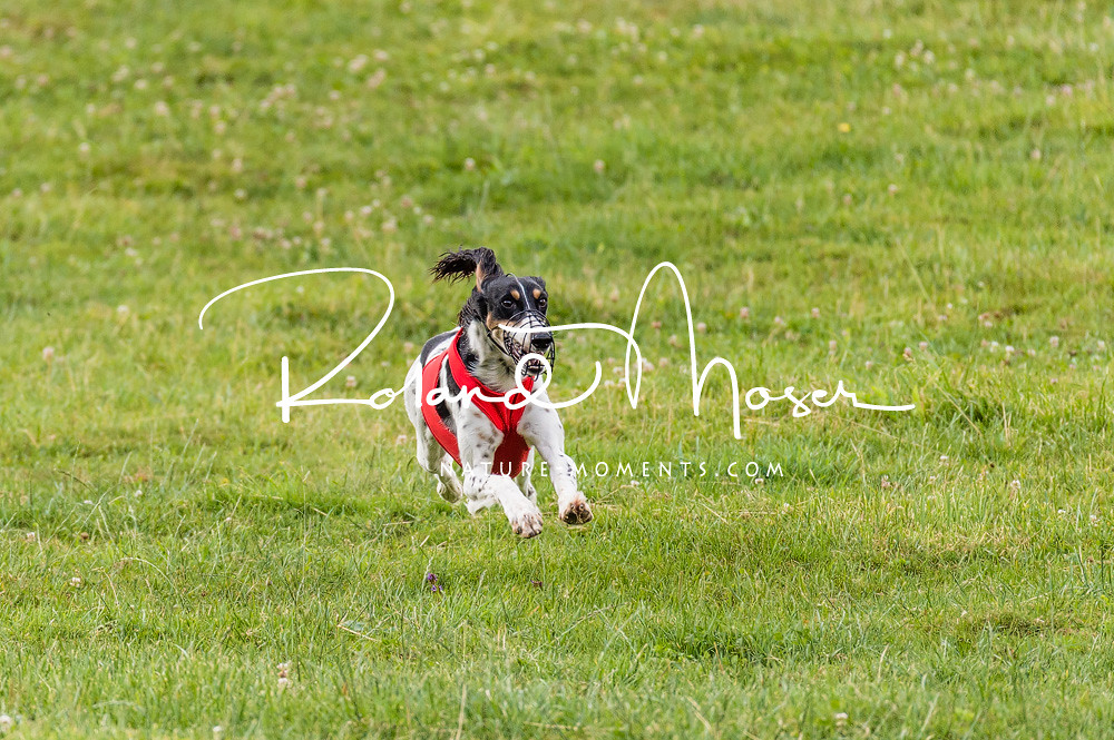 The World's Best Photos of coursing - Flickr Hive Mind Afghan Hound Lure Coursing