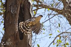 Halcón selvático de collar (Mirastur semitorquatus) -Collared-Forest Falcon (Micrastur semitorquatus) (Adolfo Montes) Tags: micrastursemitorquatus halcón brosimum mojote nido