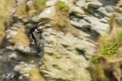 Puffin (Saxa Vord, Unst, Shetland) (Renate van den Boom) Tags: 06juni 2017 europa grootbrittannië jaar maand papegaaiduiker renatevandenboom shetland unst vogels