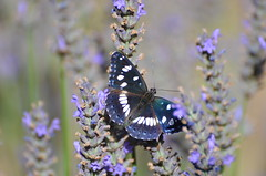 Butterfly in sunlight (dfromonteil) Tags: butterfly papillon insect insecte bug nature animal flower fleur lavande lavender plant plante macro bokeh noir blanc bleu pourpre violet vert green purple black white blue colors couleurs light lumière summer été