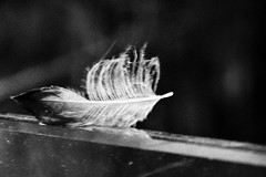 Lost..... (rienschrier) Tags: zwartwit blackandwhite bird art stilleven veer