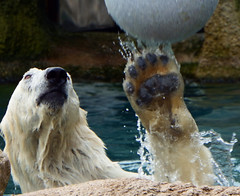 Polar bear in action (STEHOUWER AND RECIO) Tags: polar bear action ball wet wild ballplay animal fauna water splash face expression faceexpression fur claw drops ijsbeer actie polarbear white aqua active moment timing ursus maritimus ursusmaritimus carnivour mammal dier tier hayop 动物 動物 животное tubig воды полярный медведь полярныймедведь 北极熊 ホッキョクグマ eisbär ourspolaire osopolar ursopolar