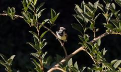 Faune urbaine (CaroDiario) Tags: moineauperché arbre branche regardcaméra feuilles été soleil summer bird fauneurbaine urbanwildlife panasonicdcgh5 lumixgvario100300mmf4056