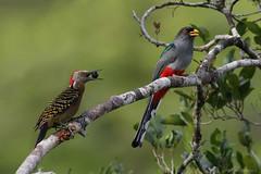 Carpintero y Trogón (Dax M. Roman E.) Tags: carpintero pájarocarpintero trogon trogondelaespañola melanerpesstriatus priotelusroseigaster daxromán