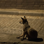 """Urban fox • <a style=""""font-size:0.8em;"""" href=""""http://www.flickr.com/photos/28211982@N07/35263429153/"""" target=""""_blank"""">View on Flickr</a>"""