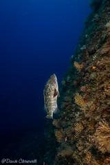 IMG_6019 (davide.clementelli) Tags: scuba underwater underwaterlife diving dive immersione portofino colori colors colore color fishes fish pesci grouper cernia