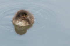 Sleepy (Andrew_Leggett) Tags: tuftedduck aythyafuligula duckling sleepy summer snooze rest peaceful cute rspboldmoor duck water waterbird nature wild natural wildlife