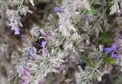 fullsizeoutput_977f (Fan Majie 範瑪姐) Tags: bumblebee mimicry lavendel bugs