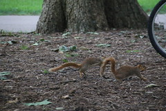 Squirrels in Ann Arbor at the University of Michigan (July 24th, 2017) (cseeman) Tags: gobluesquirrels squirrels annarbor michigan animal campus universityofmichigan umsquirrels07242017 summer eating peanut julyumsquirrel umsquirrel