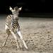 Notbremsung (Mel.Rick) Tags: tier natur pflanzenfresser pferde zebras damarasteppenzebra equusquaggaantiquorum zooduisburg