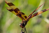 Halloween Pennant Dragonfly (marylea) Tags: dragonfly insect amber flying doublewinged jul5 2017 halloweenpennant halloweenpennantdragonfly