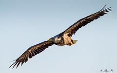 Havørn- (jarud) Tags: 2017 eagle fugl havørn naturopplevelser norge norway smøla whitetailed ørn