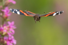 Pretty Fast (Andrew_Leggett) Tags: butterfly headon inflight redadmiral vanessaatalanta insect flying summer depthoffield stupididea