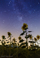 Sunflowers at night (Emilio Carbonell Galdón) Tags: girasoles sunflowers outdoors vialactea milkyway landscape paisaje nature nopeople spain españa valencia