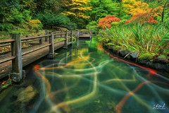 Electric Slide (Aaron Reed Photography) Tags: koi longexposure aaronreedphotography aaronreedphotographer aaronreedacrylicfacemountprints aaronreedmetalprints aaronreed portlandoregonphotography portlandjapanesegarden autumn fallcolor bridge japanesegarden japanesegardenportlandoregon