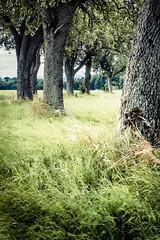 Wind is blowing (Vera Arnold) Tags: allee alley baum bäume tree trees wind blowing gras grass verweht