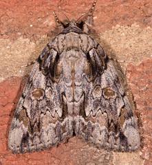Penitent Underwing Moth (drkilmer) Tags: myersville maryland unitedstates us