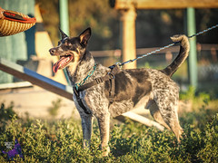 P7152005 (Songdog Studios) Tags: green dog neumond womensretreat 2017 k9 schutzhund ipo