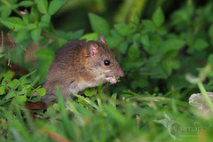 Polynesian rat (VS Images) Tags: polynesianrat rat rodent rattusexulans animals wildlife wildlifephotography nature ngc naturephotography vsimages vassmilevski olympusomdem1mkii mzuiko300mmf4pro omd em1mkii 300mm olympus olympusau m43 getolympus vanuatu
