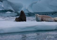 """Predador Voraz"" (JJSantosphoto) Tags: focaleopardo foca leopardo jjsantosphoto jjsantos travel viagem canon antartida antarctica antartica peninsulaantartica gelo iceberg gelado expediçãoantarctica expedição aoarlivre animais"