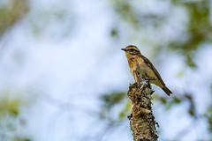 Winchat - Explored (cradenborg) Tags: c cceradenborg birdwatch birdwatcher muscicapidae myexplored nature openbaar outdoor paapje passeriformes public saxicolarubetra topkamp2017zweden vliegenvangers websitenieuw whinchat wildlife zangvogels ©ceradenborg