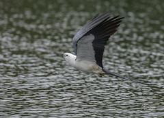 Swallow-tailed Kite ((Elanoides forficatus) (slsjourneys) Tags: raptors swallowtailedkites