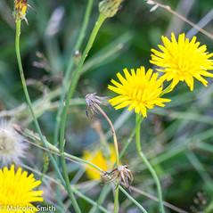 Dandelions 2 (M C Smith) Tags: forest dandelion grass green white yellow pentax k3ii