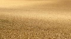 Corn (XoMEoX) Tags: ähre ähren corn weizen weizenfeld kornfeld landwirtschaft field farm farming ackerbau sony rx100m2 dscrx100m2 rx100 yellow gelb minimal minimalism minimalismus getreide wheat plants pflanzen plant pflanze abstract abstrakt acker bewirtschaftung bewirtschaftet