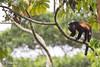 I have Big Balls (Triscele Photography) Tags: monkey howler make balls big testicles mono congo costa rica