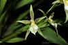 Odontoglossum astranthum 6362 (A. Romanko) Tags: odontoglossum astranthum