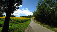 La petite route estivale... (LILI 296...) Tags: tournesols jaune canonpowershotg7x campagne gers france midipyrénées nature été summer route yellow