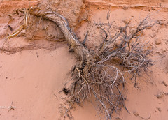 Root of the matter (sochhoeung) Tags: zion sand zionnationalpark treesroots roots rootofthematter orangesand orange eastside fallen