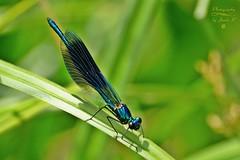 Dragonfly (Jurek.P) Tags: ważka dragonfly insects macro makro summer mazury masuria nature natura jurekp sonya77 poland polska