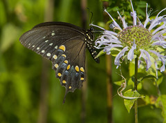 Eastern Tiger Swallowtail, black female form (AllHarts) Tags: easterntigerswallowtailblackfemaleform spac wildbergamot hollyspringsms naturescarousel ngc