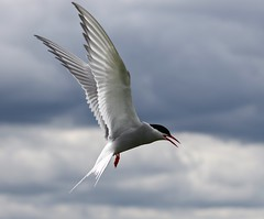 Arctic Tern (Sterna paradisaea) (R.Miller1979) Tags: arctic tern sterna paradisaea seabird birds bird flight fly flying wings ghostly feathers fauna avian farne islands island clouds northumberland england uk nature naturereserve national trust wildlife