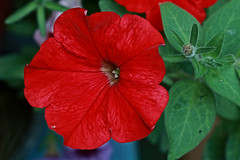 Red Petunia Macro (hbickel) Tags: redflower red macro macrolens canont6i canon photoaday pad petunia redpetunia bug