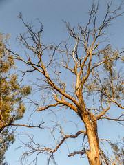 Graciously reaching up (Marian Pollock (Weiler)) Tags: australia gumtree mildura nsw nativetree bluesky sky branches treetrunk