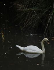 (vik.gaponenko) Tags: vik seacalf outdoor summer day city sochi calm walk street bird swan warm nature view sony lake