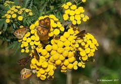 Zandoogjes (ditmaliepaard) Tags: zandoogjes vlinders butterflys a6000 sony opdefiets