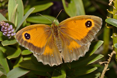 Butterfly IMG_5844 (davholla2002) Tags: canon550d canonefs60mmf28usm chislehurst butterfly gatekeeper pyroniatithonus