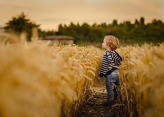 Evening Adventure (James W Atkins) Tags: evening golden gold goldenhour cornfields hay grass field farm boy toddler son child children walk late country countrywalk warm summer sun sunset lateafternoon stroll