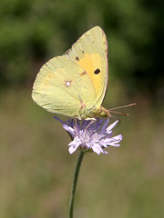 Clouded Yellow (chaz jackson) Tags: coliascroceus cloudedyellow pieridae butterfly insect nature macedonia macro