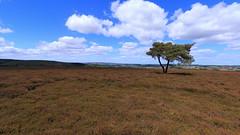 Egton Tree (kpce1960) Tags: tree saturday self challenge heather moors egton
