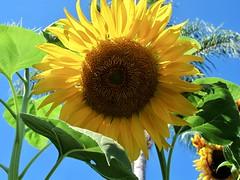 Sunny Summer Saturday (Bennilover) Tags: sunflowers sunshine july california huge flowers blossoms giant neighborhood