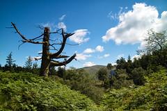 Tree. (Tall Guy) Tags: tallguy uk ldnp lakedistrict cumbria tree castlecrag fort ravencrag unescoworldheritagesite unesco world heritage site