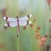 Bandheidelibel / Banded Darter / Sympetrum pedemontanum (Wim Boon (wimzilver)) Tags: macro macrofotografie wimzilver wimboon libel dragonfly nederland netherlands canoneos5dmarkiii canon100mmf28lismacro natuur nature bandeddarter bandheidelibel